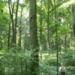 Old-growth beech-maple forest