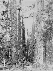 A historic grove of white pine in Algonquin Park