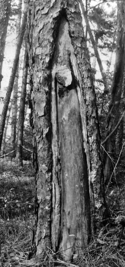 This tree has two fire-scars, marking an intense fire history