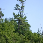Uneven canopy of an old-growth white pine forest