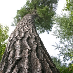 350-year-old White Pine
