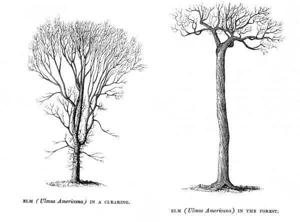 1840 illustrations by Philip Henry Gosse showing characteristics of an old-growth elm tree