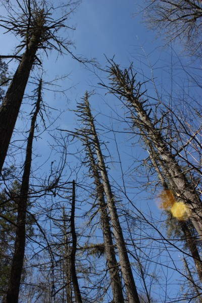 Hemlocks killed by HWA in Catalochee, Great Smoky Mountain National Park
