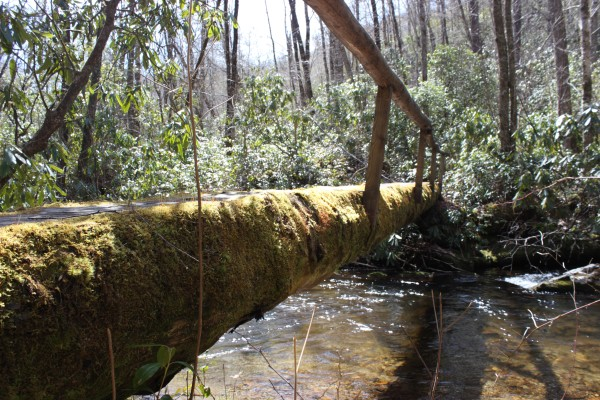 Hemlocks logs such as this one used as bridge have been aged to over 500 years