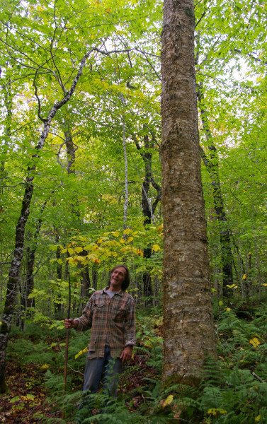 yellow birch crop tree