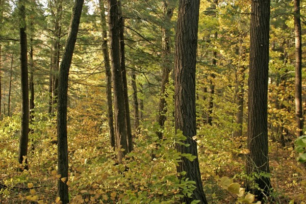 Algonquin Park is home to thousands of hectares of hemlock forest