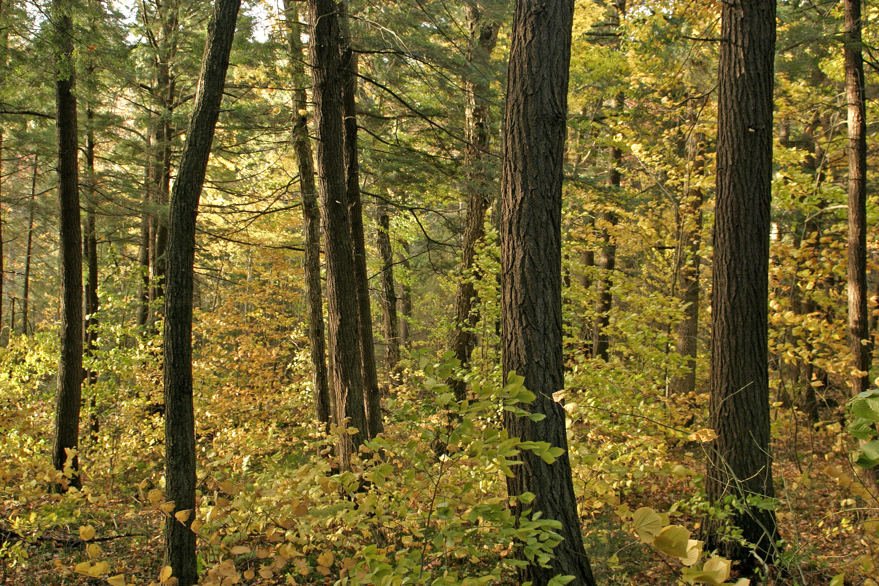 Cathedral Grove, Algonquin Park