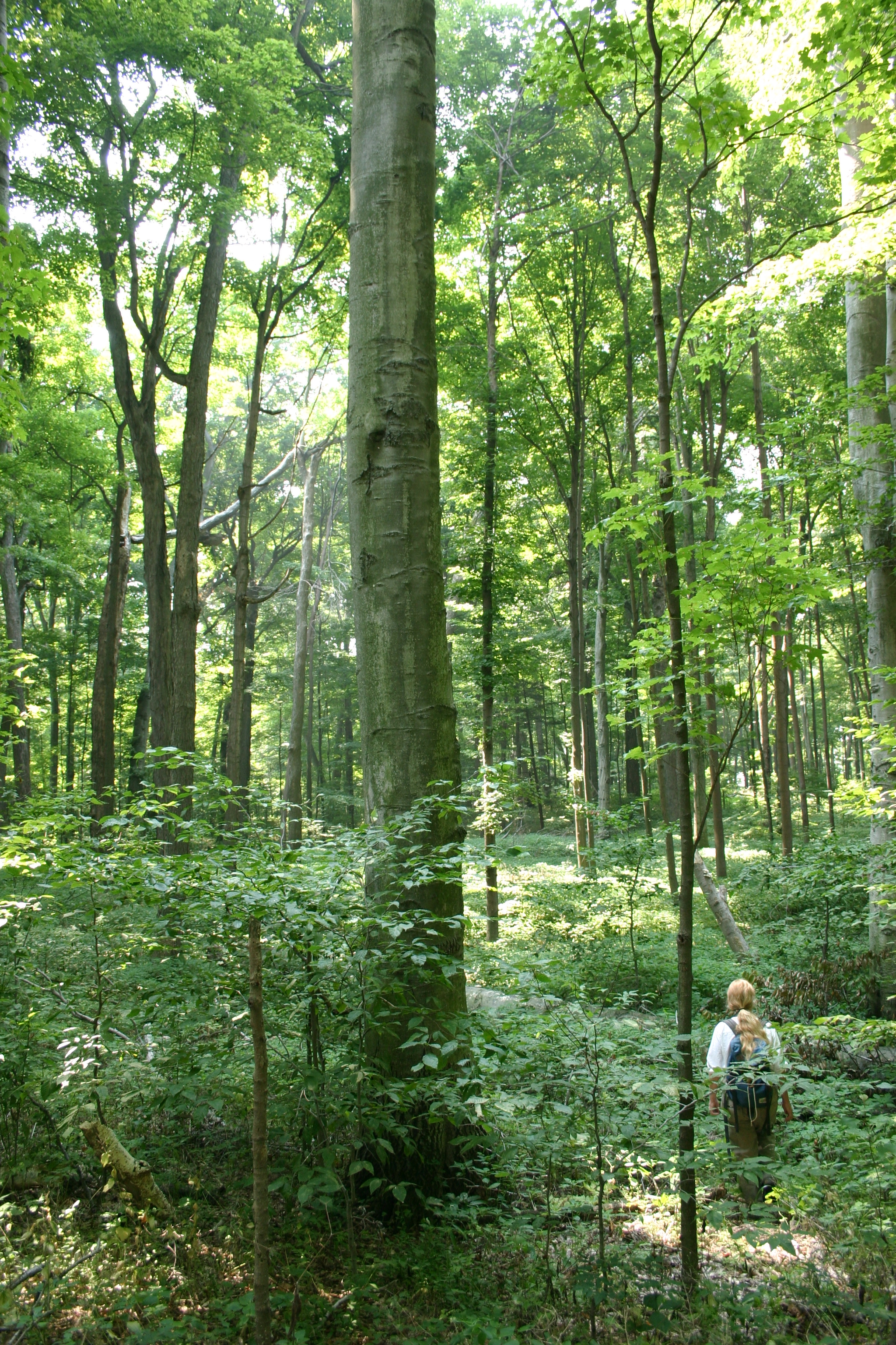 Beech Maple Forest ~ Old growth beech maple forest ancient exploration